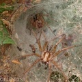 Agelenidae - Agelena labyrinthica coppia