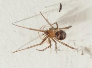 Theridiidae - Steatoda grossa