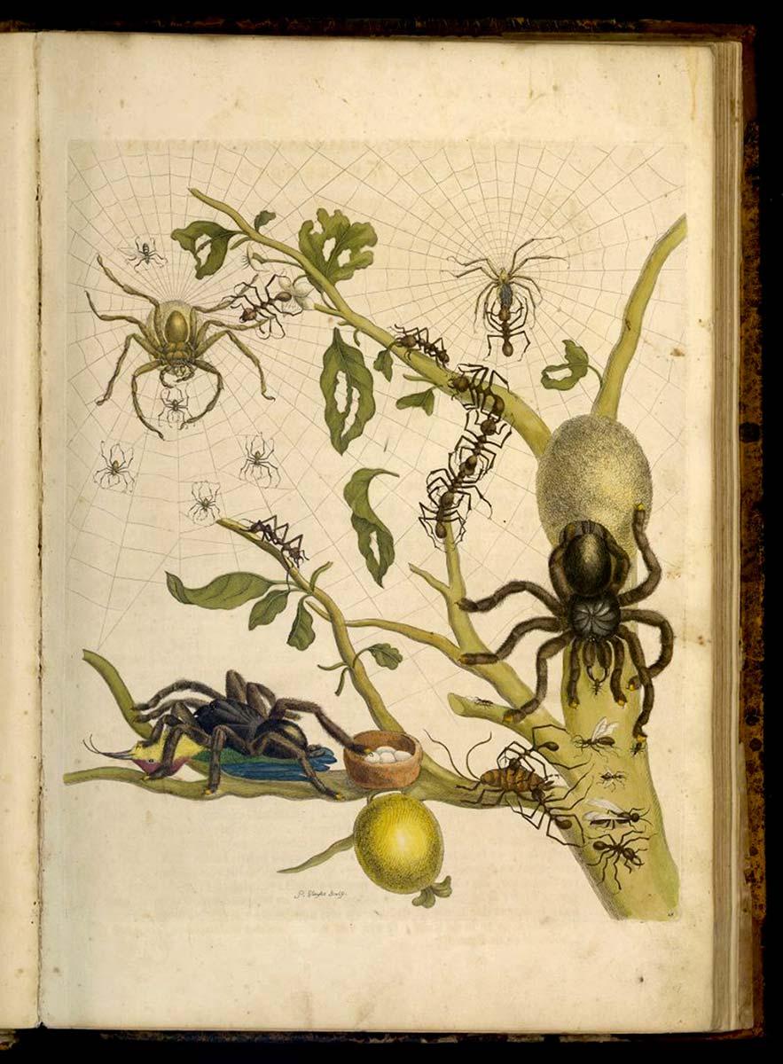Metamorphosis insectorum Surinamensium 1705 Maria Sibylla Merian