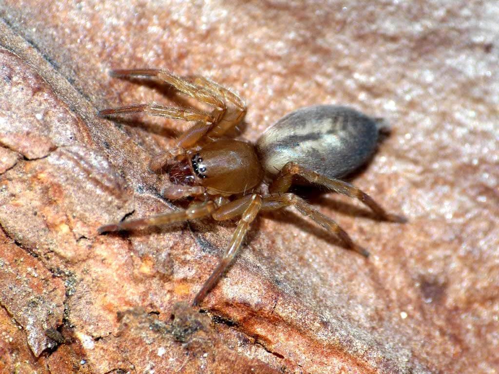 Indirizzo del ragno con spina e tonillo nero 1