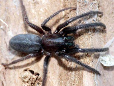 I ragni delle abitazioni aracnofilia associazione for Tipi di schierandosi per le case