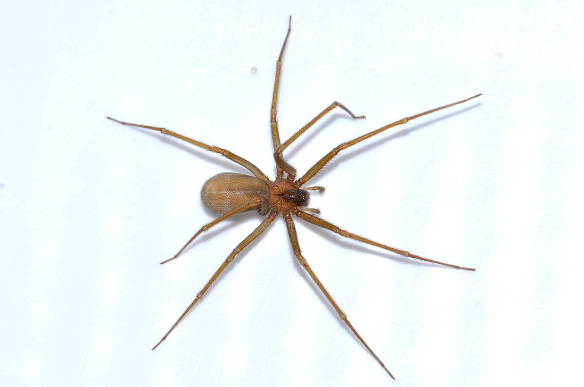 i ragni delle abitazioni aracnofilia associazione