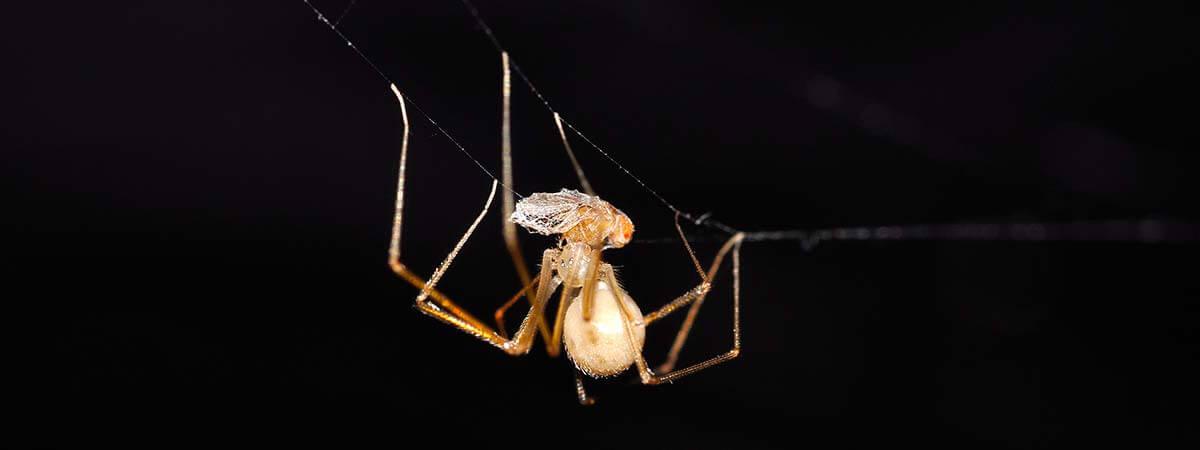 Pholcidae - Spermophora senoculata #2 (female) (10)