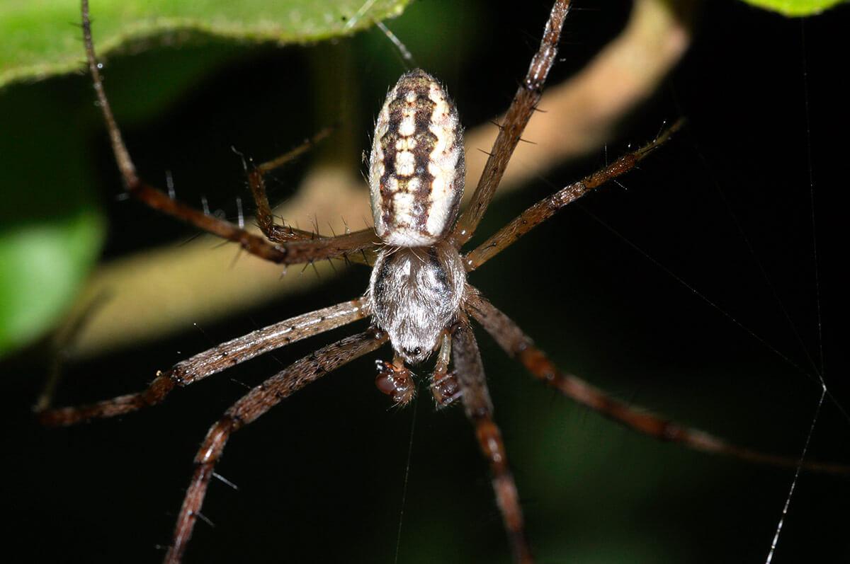 Habitus di un maschio adulto