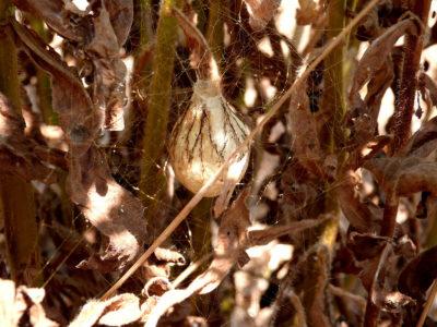 Ovisacco di Argiope bruennichi
