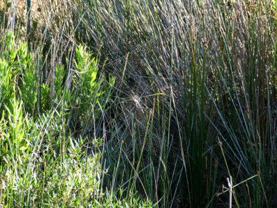 Argiope bruennichi - tela in ambiente