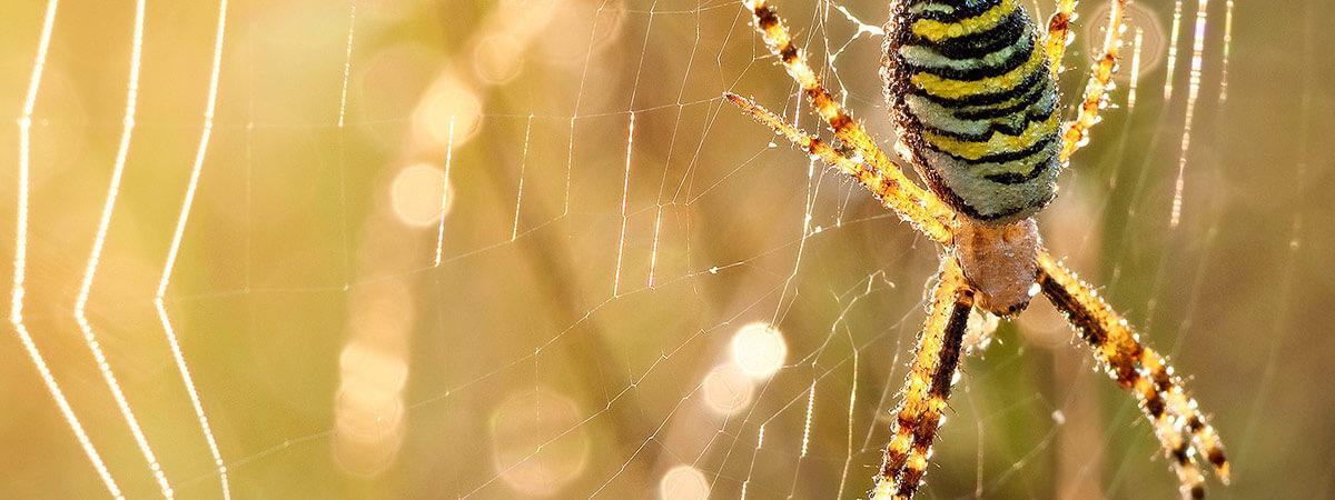 Argiope bruennichi sulla ragnatela