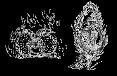 Disegni dei genitali di Cheiracanthium erraticum