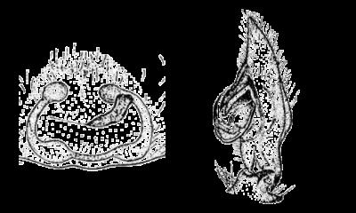Disegni dei genitali di Cheiracanthium mildei