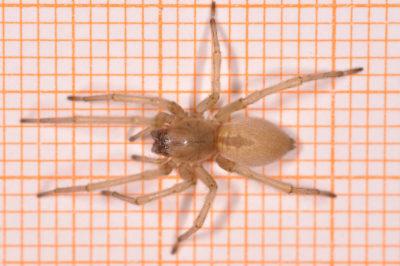 Habitus Cheiracanthium mildei femmina