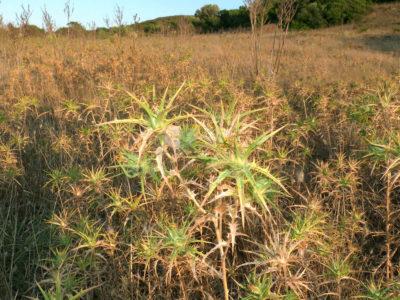 Ambiente tipico di Cheiracanthium punctorium