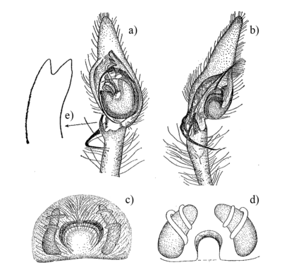 Disegni dei genitali di Cheiracanthium punctorium
