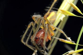 Miturgidae - Cheiracanthium punctorium #3 (female) (23)