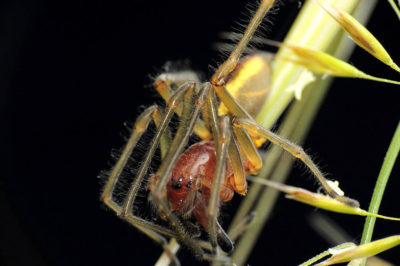 Cheiracanthium punctorium scheda approfondimento evidenza