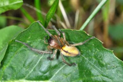Habitus di una femmina di Cheiracanthium seidlitzi
