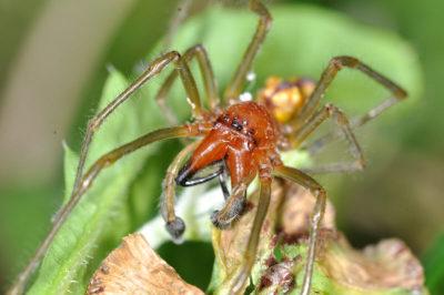 Habitus di un maschio di Cheiracanthium seidlitzi