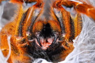 Introduzione migali storia naturale evidenza