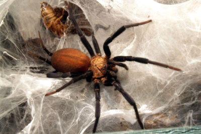 Lynothele megatheloides scheda approfondimento evidenza