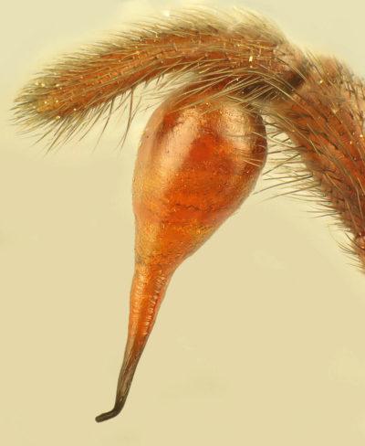 Segestria florentina – bulbo maschile2