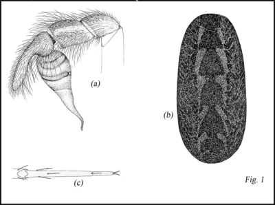 Disegni dei genitali e caratteri morfologici Segestria florentina