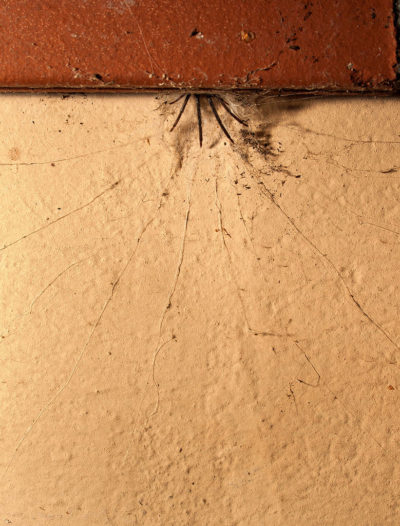 Fig. 4: Giovane esemplare nella tipica tana. Si osservano le sei zampe rivolte in avanti e i lunghi fili che si diramano dal cunicolo