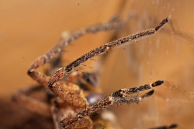 zoropsis-spinimana-maschio-spine-erette