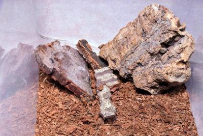 Zoropsis spinimana - terrario