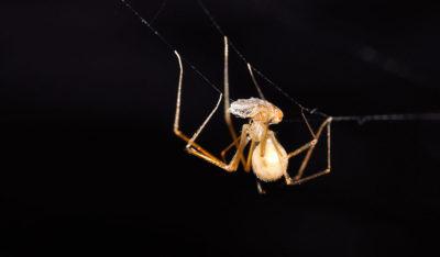 Pholcidae - Spermophora senoculata #2 (female) (10wwww)