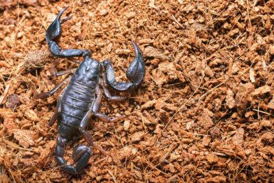livrea scura di alcuni scorpioni italiani