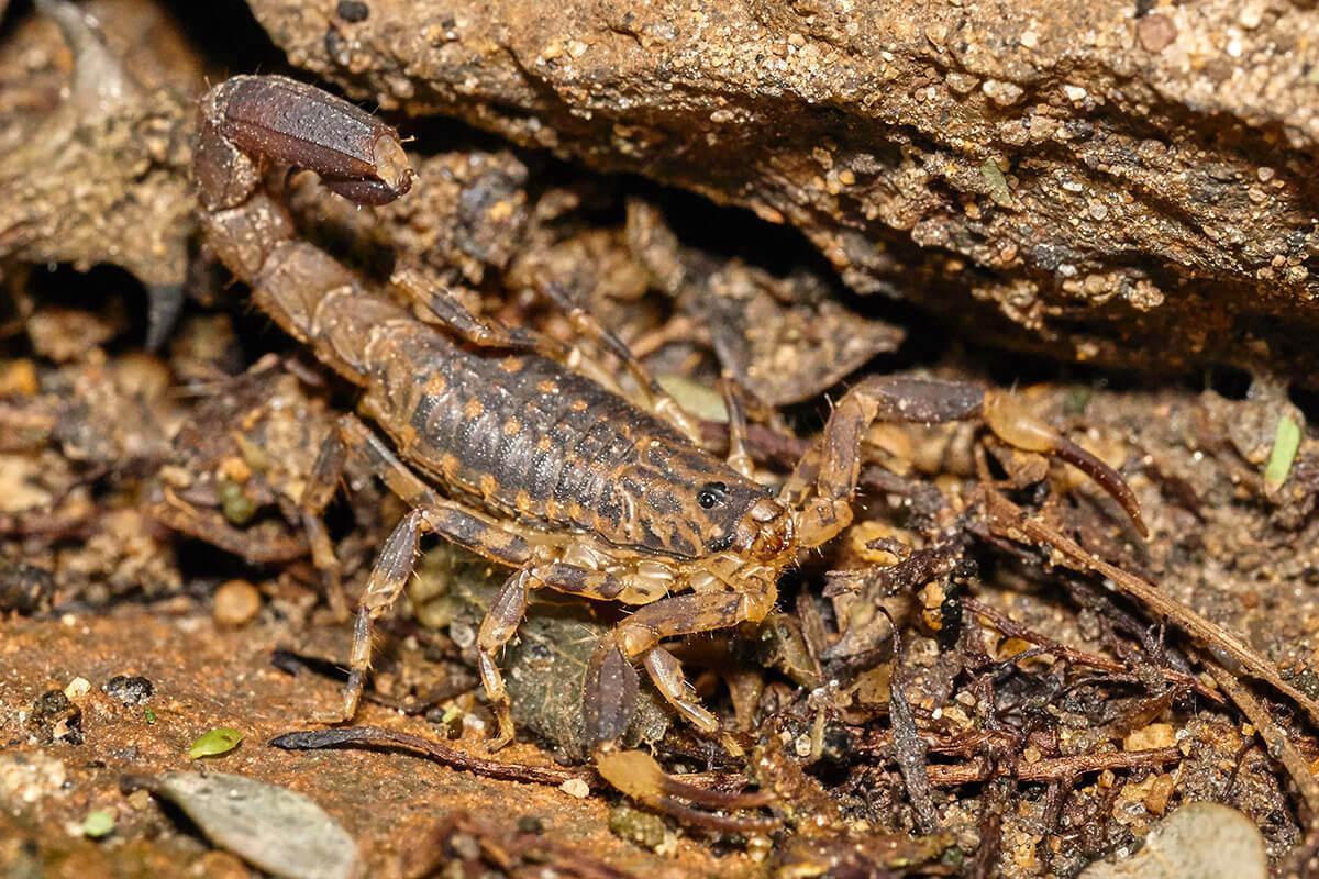 scorpione malawi colorazione mimietica