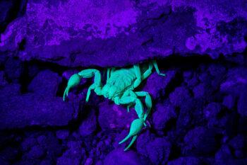 Fluorescenza degli scorpioni esemplare illuminato da luce uv