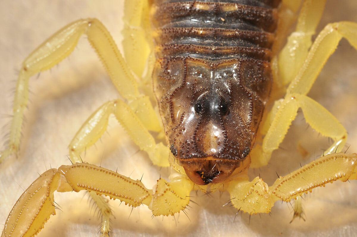 Scorpione marrone occhi cheliceri velenoso