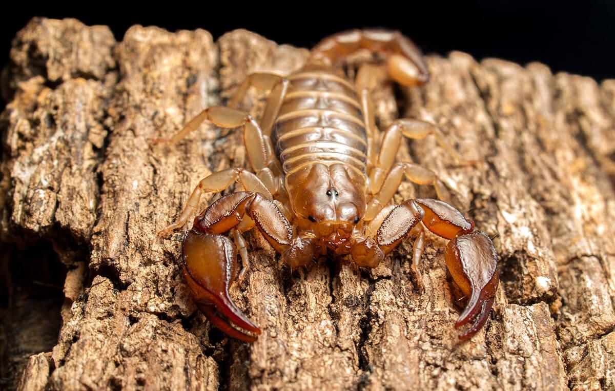scorpione italiano marrone chiaro