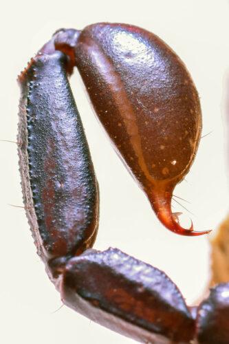 veleno coda pungiglione scorpioni italiano