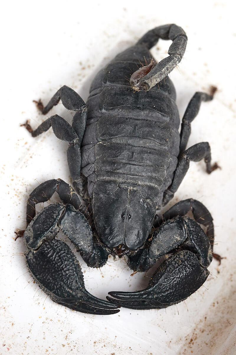 Scorpione nero suafricano chele grosse