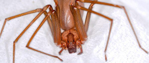 aspetto del ragno violino Loxosceles rufescens